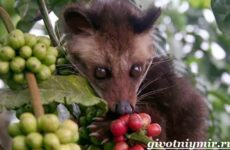 Циветта животное. Образ жизни и среда обитания циветты