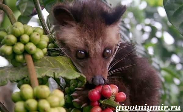 Циветта-животное-Образ-жизни-и-среда-обитания-циветты-3
