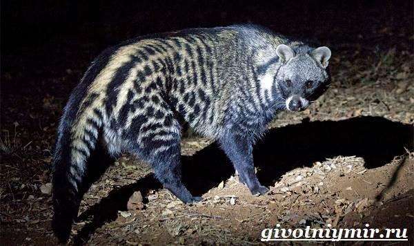 Циветта-животное-Образ-жизни-и-среда-обитания-циветты-5