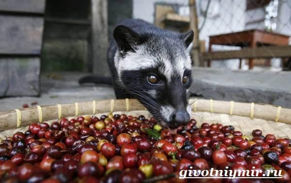 Циветта-животное-Образ-жизни-и-среда-обитания-циветты-6