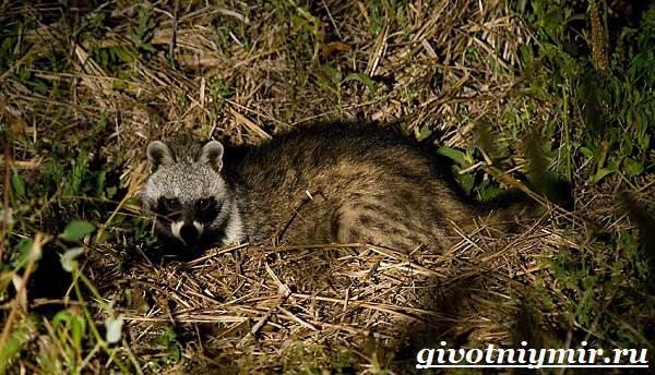 Циветта-животное-Образ-жизни-и-среда-обитания-циветты-7
