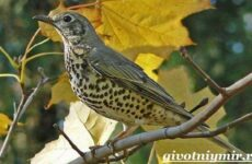 Дрозд птица. Образ жизни и среда обитания дрозда