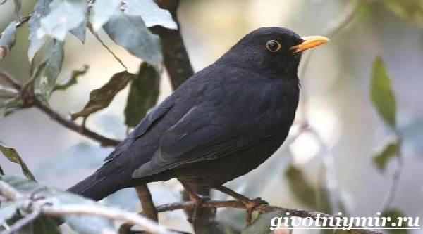 Дрозд-птица-Образ-жизни-и-среда-обитания-дрозда-3