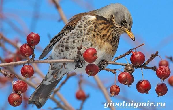 Дрозд-птица-Образ-жизни-и-среда-обитания-дрозда-5