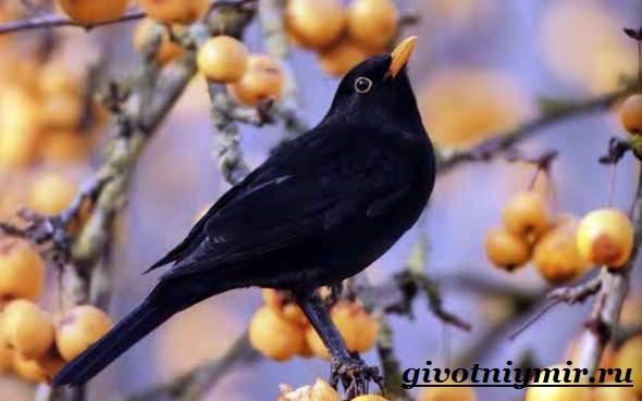 Дрозд-птица-Образ-жизни-и-среда-обитания-дрозда-7