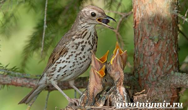 Дрозд-птица-Образ-жизни-и-среда-обитания-дрозда-9