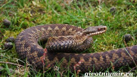 Гадюка змея. Образ жизни и среда обитания гадюки