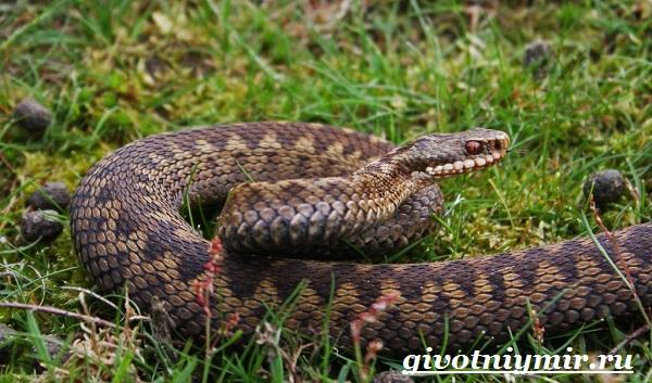 Гадюка-змея-Образ-жизни-и-среда-обитания-гадюки-1