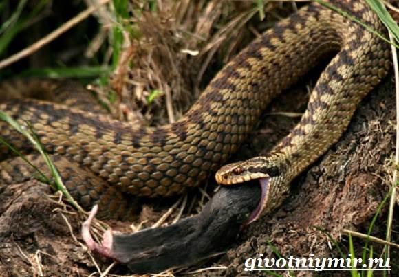Гадюка-змея-Образ-жизни-и-среда-обитания-гадюки-13
