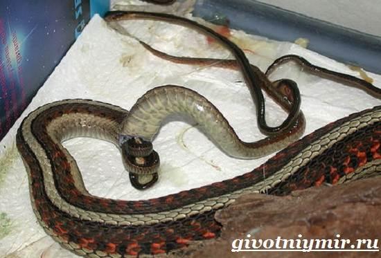 Гадюка-змея-Образ-жизни-и-среда-обитания-гадюки-14
