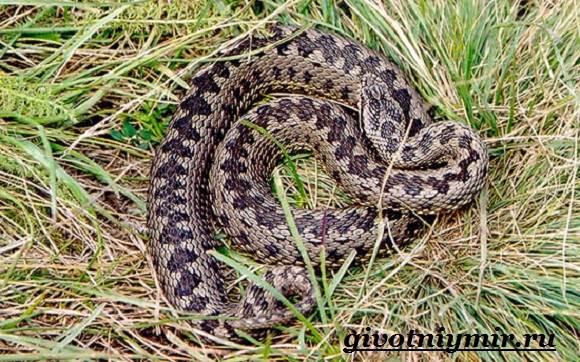 Гадюка-змея-Образ-жизни-и-среда-обитания-гадюки-3