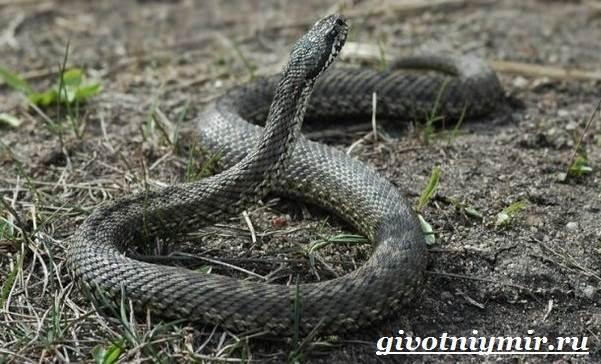 Гадюка-змея-Образ-жизни-и-среда-обитания-гадюки-4