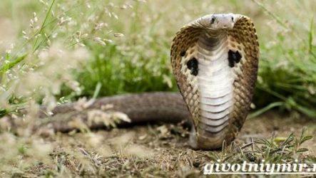 Индийская кобра. Образ жизни и среда обитания индийской кобры