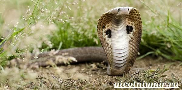 Индийская-кобра-Образ-жизни-и-среда-обитания-индийской-кобры-1