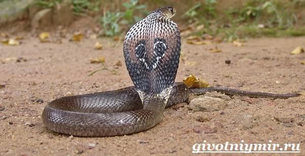 Индийская-кобра-Образ-жизни-и-среда-обитания-индийской-кобры-2