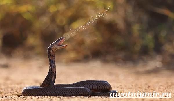 Индийская-кобра-Образ-жизни-и-среда-обитания-индийской-кобры-3