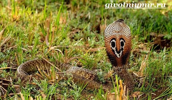 Индийская-кобра-Образ-жизни-и-среда-обитания-индийской-кобры-4