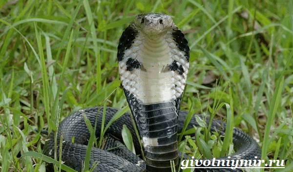 Индийская-кобра-Образ-жизни-и-среда-обитания-индийской-кобры-5
