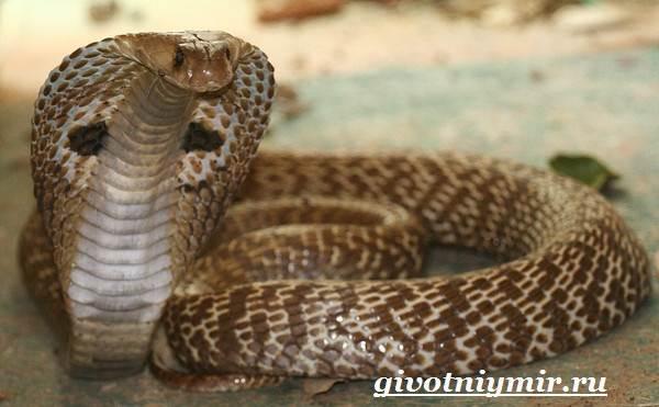 Индийская-кобра-Образ-жизни-и-среда-обитания-индийской-кобры-6