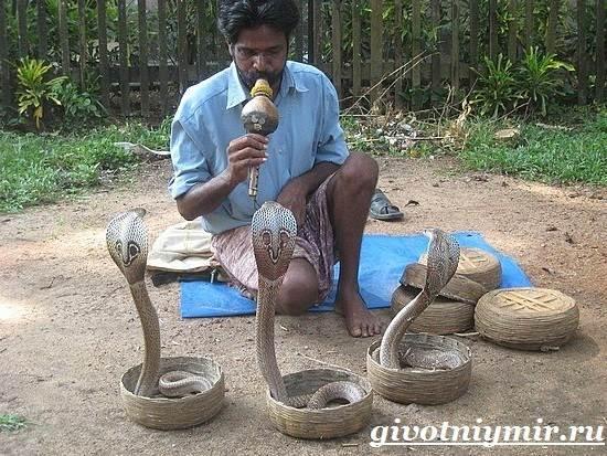 Индийская-кобра-Образ-жизни-и-среда-обитания-индийской-кобры-7