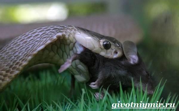 Индийская-кобра-Образ-жизни-и-среда-обитания-индийской-кобры-8
