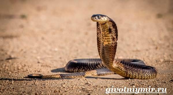 Королевская-змея-Образ-жизни-и-среда-обитания-королевской-змеи-11