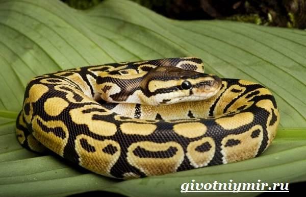 Королевская-змея-Образ-жизни-и-среда-обитания-королевской-змеи-12