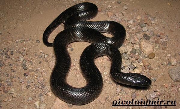Королевская-змея-Образ-жизни-и-среда-обитания-королевской-змеи-13