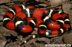 Королевская змея. Образ жизни и среда обитания королевской змеи