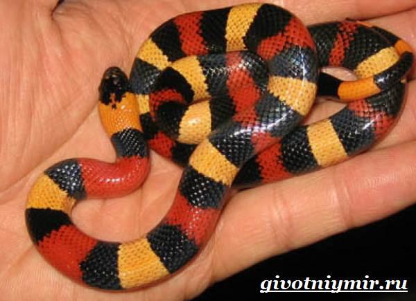 Королевская-змея-Образ-жизни-и-среда-обитания-королевской-змеи-5