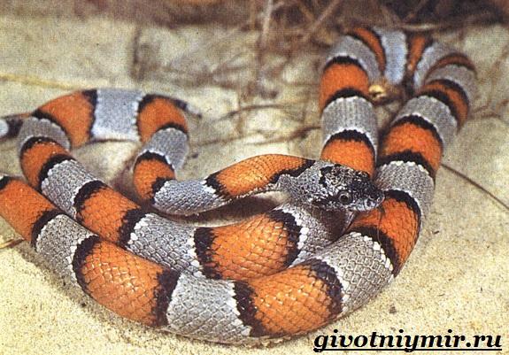 Королевская-змея-Образ-жизни-и-среда-обитания-королевской-змеи-6