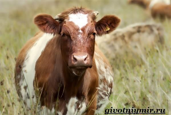 Корова-животное-Особенности-и-уход-за-коровой-1