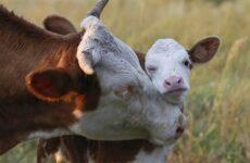 Корова животное. Особенности и уход за коровой