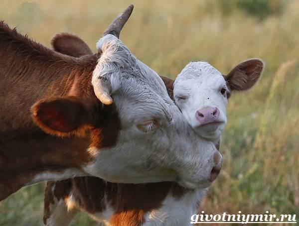 Все о коровах и уходе за ними