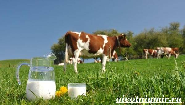 Корова-животное-Особенности-и-уход-за-коровой-2