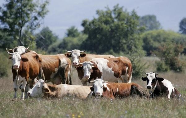 Корова-животное-Особенности-и-уход-за-коровой-4