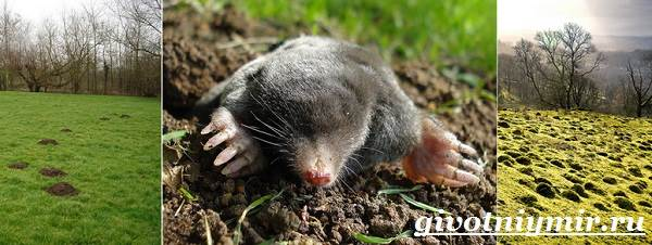 Крот-животное-Образ-жизни-и-среда-обитания-крота-8