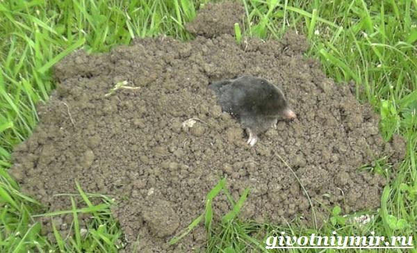 Крот-животное-Образ-жизни-и-среда-обитания-крота-9