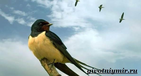 Ласточка-птица-Образ-жизни-и-среда-обитания-ласточки-2