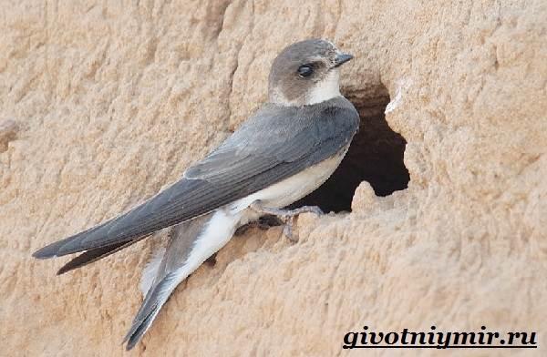 Ласточка-птица-Образ-жизни-и-среда-обитания-ласточки-3