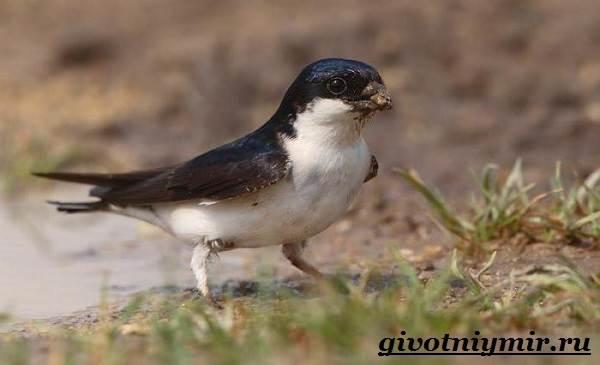 Ласточка-птица-Образ-жизни-и-среда-обитания-ласточки-4