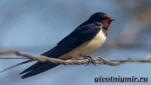 Ласточка-птица-Образ-жизни-и-среда-обитания-ласточки-5