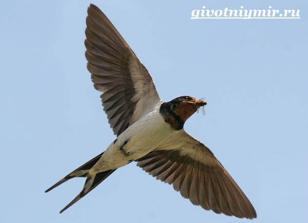 Ласточка-птица-Образ-жизни-и-среда-обитания-ласточки-6