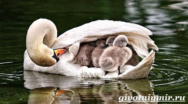 Лебедь-птица-Образ-жизни-и-среда-обитания-лебедя-10