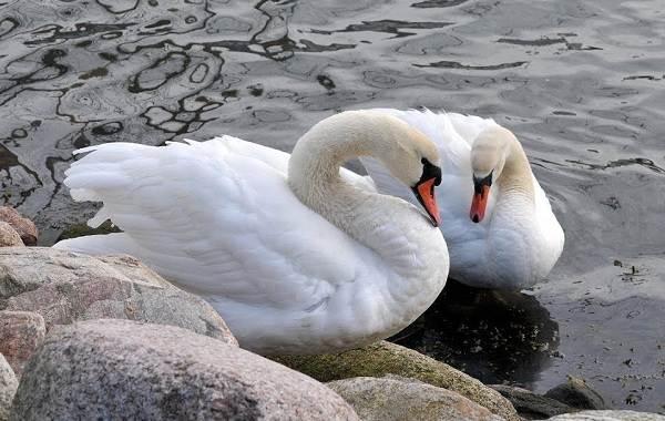 Лебедь-птица-Образ-жизни-и-среда-обитания-лебедя-15