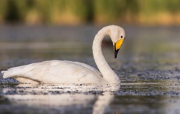 Лебедь-птица-Образ-жизни-и-среда-обитания-лебедя-16