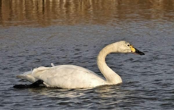 Лебедь-птица-Образ-жизни-и-среда-обитания-лебедя-17
