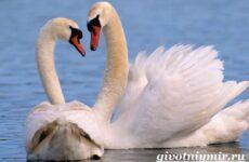 Лебедь птица. Образ жизни и среда обитания лебедя