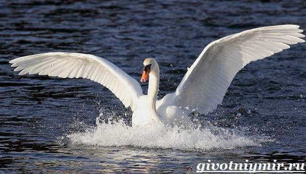 Лебедь-птица-Образ-жизни-и-среда-обитания-лебедя-3