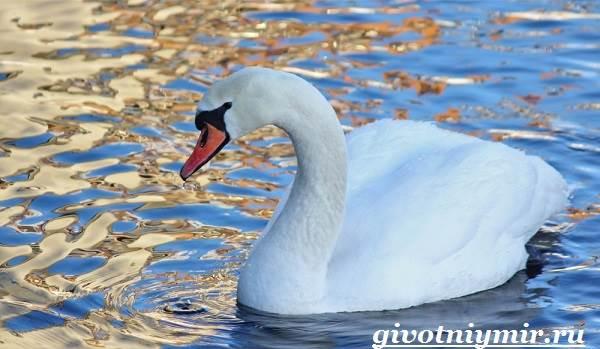 Лебедь-птица-Образ-жизни-и-среда-обитания-лебедя-4